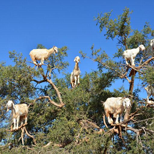Чудо-дерево, на котором «растут» козы